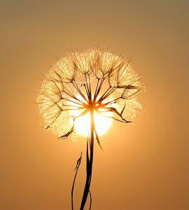 dandelion-1557110_640