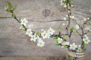 cherry-blossoms-1389792_640