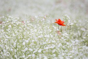 poppy-1128683_640